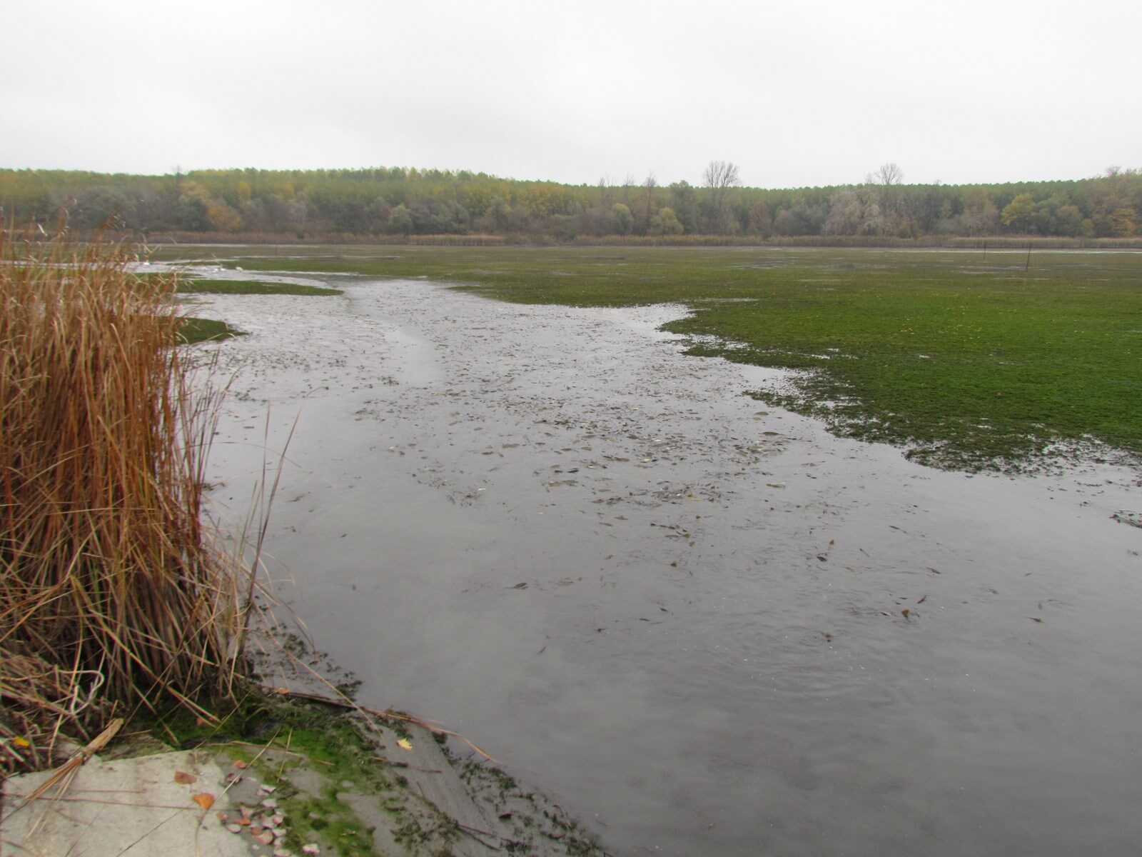 Haltelepítés, leengedett tó pontyokkal